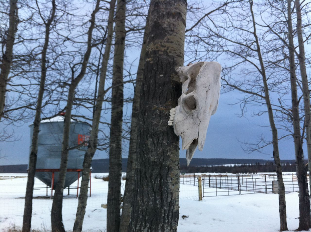 A picture of a tree and a cattle skull on the Crichton farm.