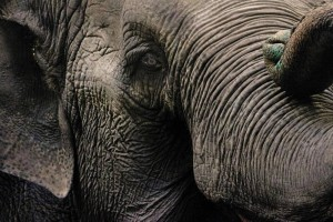 Lucy the elephant. Photo by Amber Bracken, The Globe and Mail